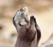 funny_praying_otter-other